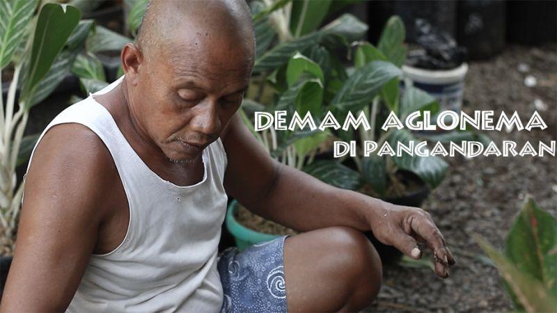 Demam Aglonema di Pangandaran